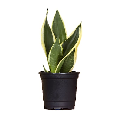 Exotic Angel Plants Snake Plant (L20951hp) at Lowes com