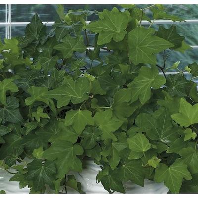 Exotic Angel Plants Ivy (L20950hp) at Lowes com