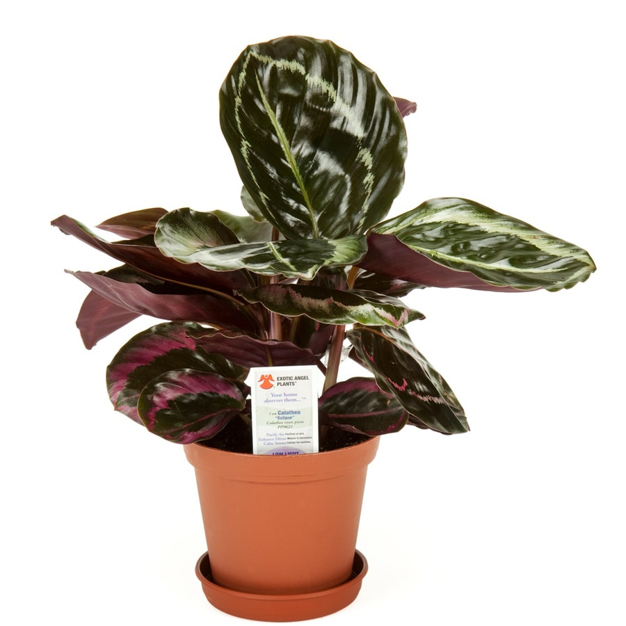 Exotic Angel Plants 20 oz Calathea in Planter (L20924hp)