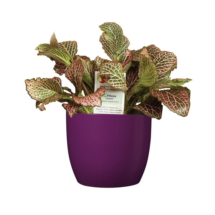 shop exotic angel plants 20 oz fittonia in planter