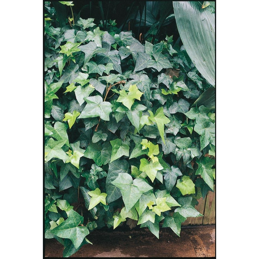 Exotic Angel Plants English Ivy L5369hp At Lowes Com