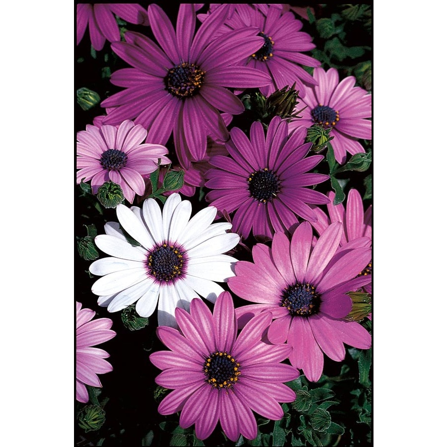 0.75 Pint African Daisy (L11796)