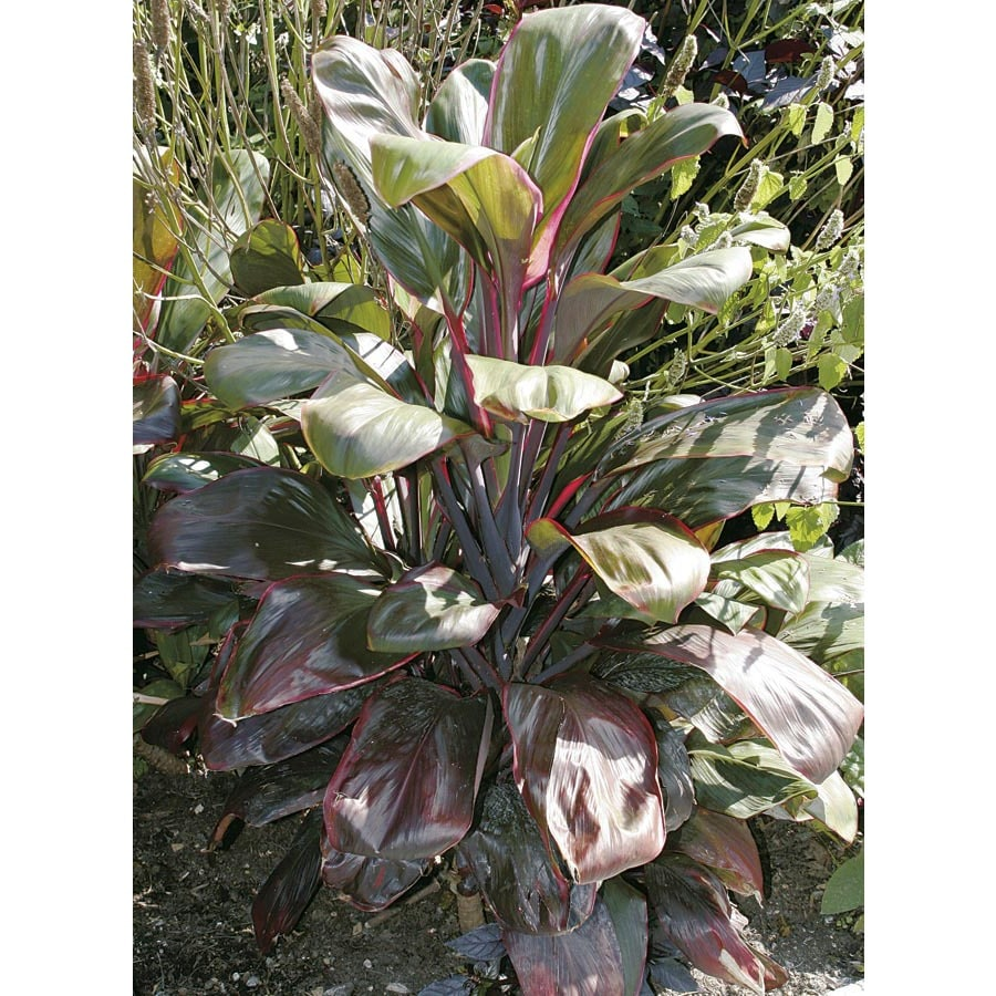 2-Gallon Bolero Cordyline (L20419)
