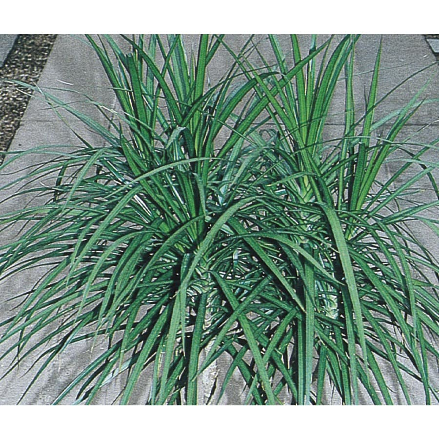 3-Gallon Spike Dracaena (L17139)