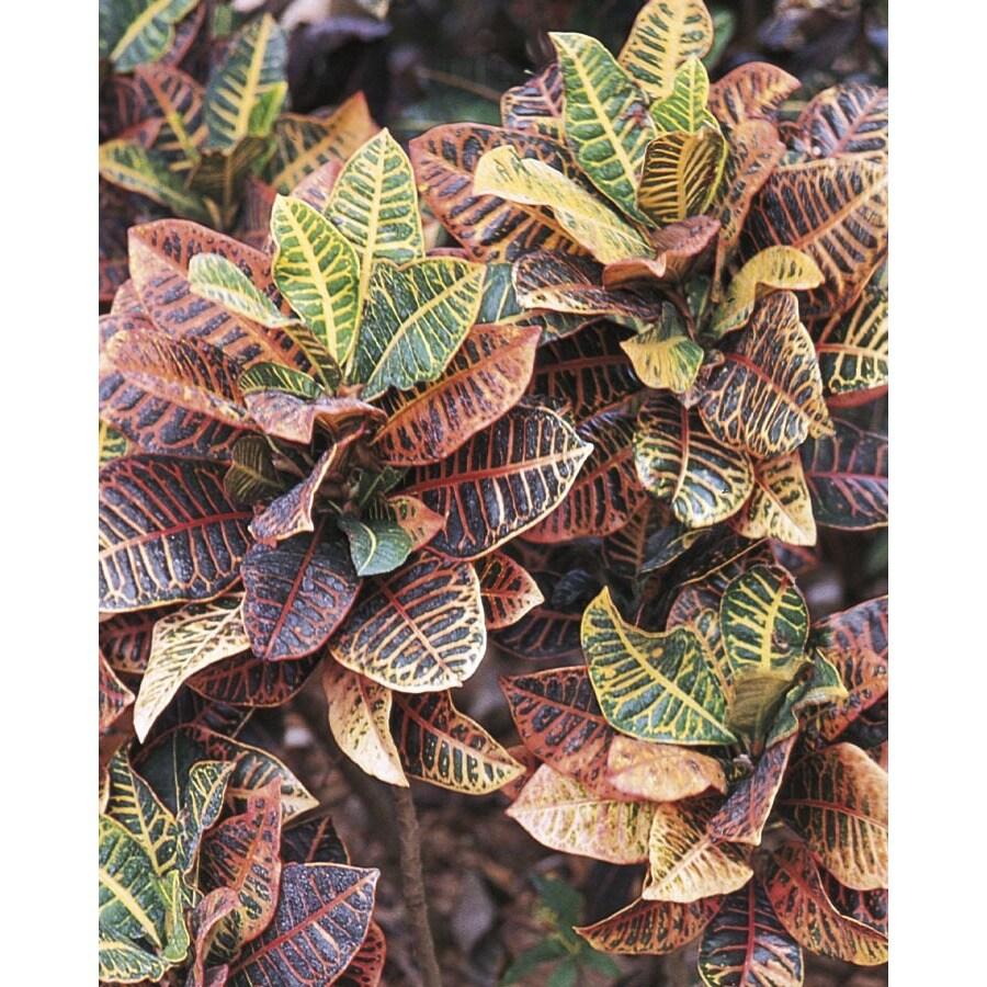 1-Gallon Croton (L5448)
