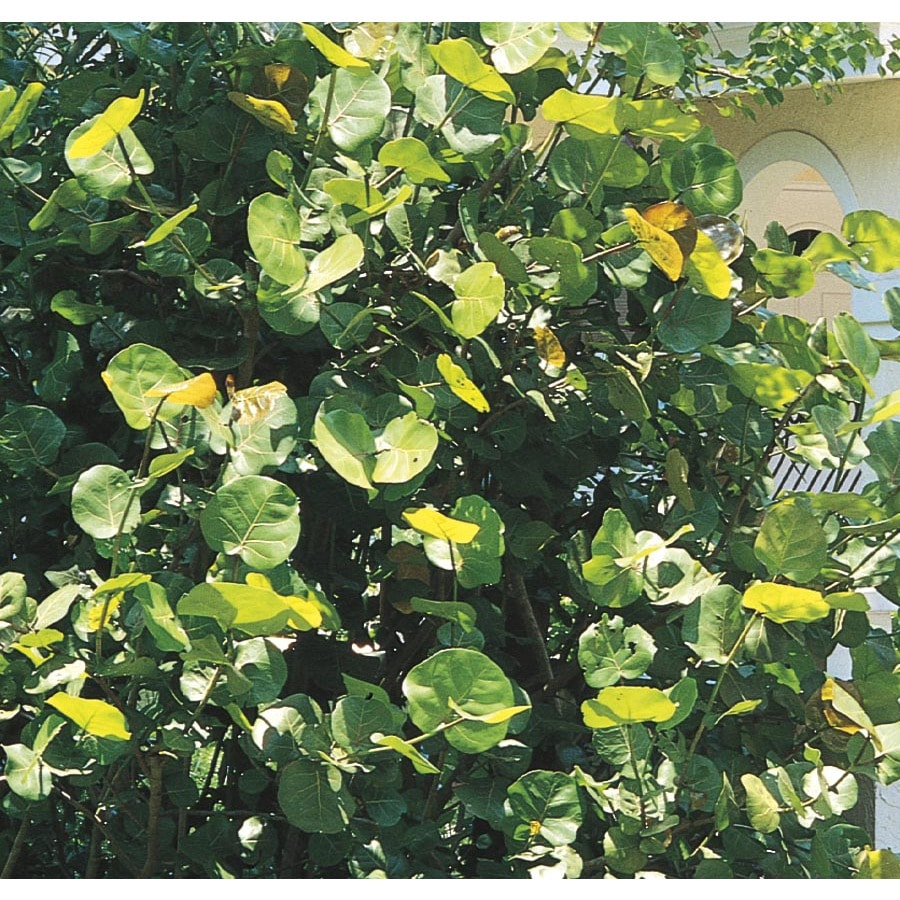 2-Gallon White Sea Grape Feature Shrub (L10455)