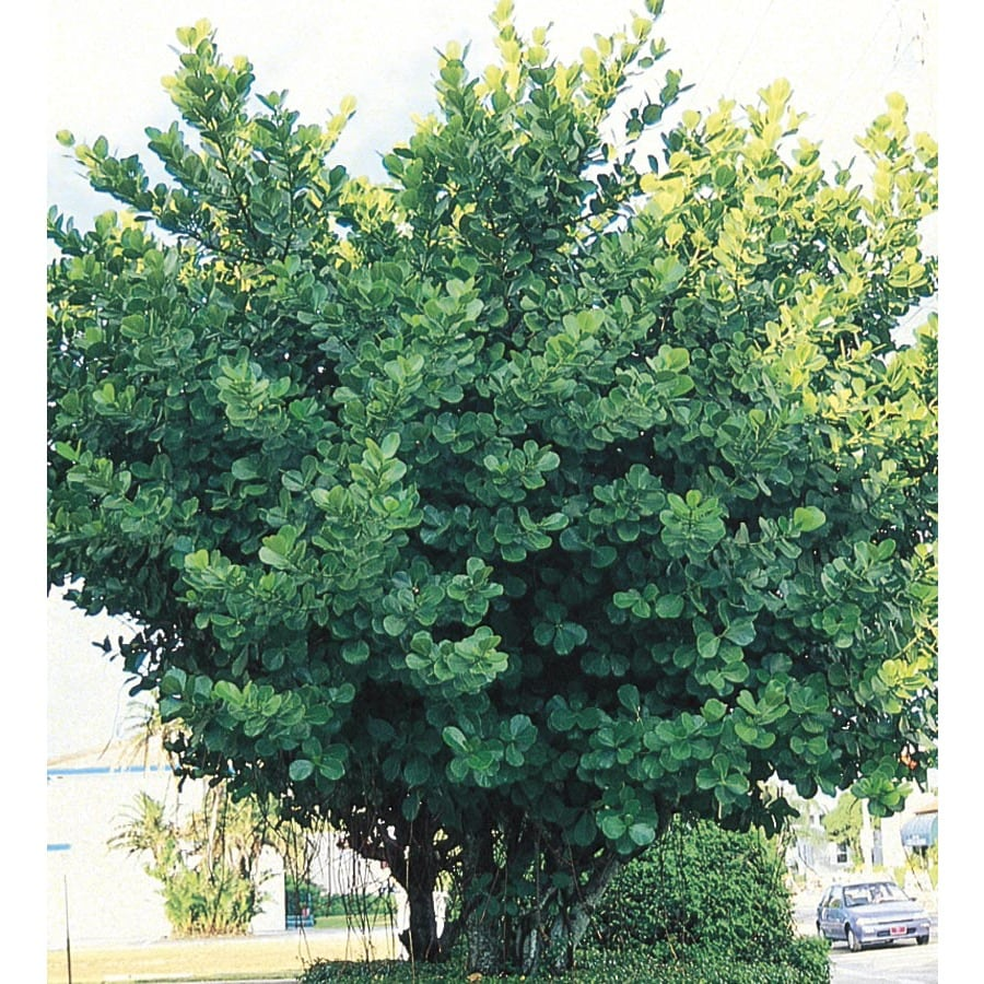 Autograph Tree Shrub (L23957)