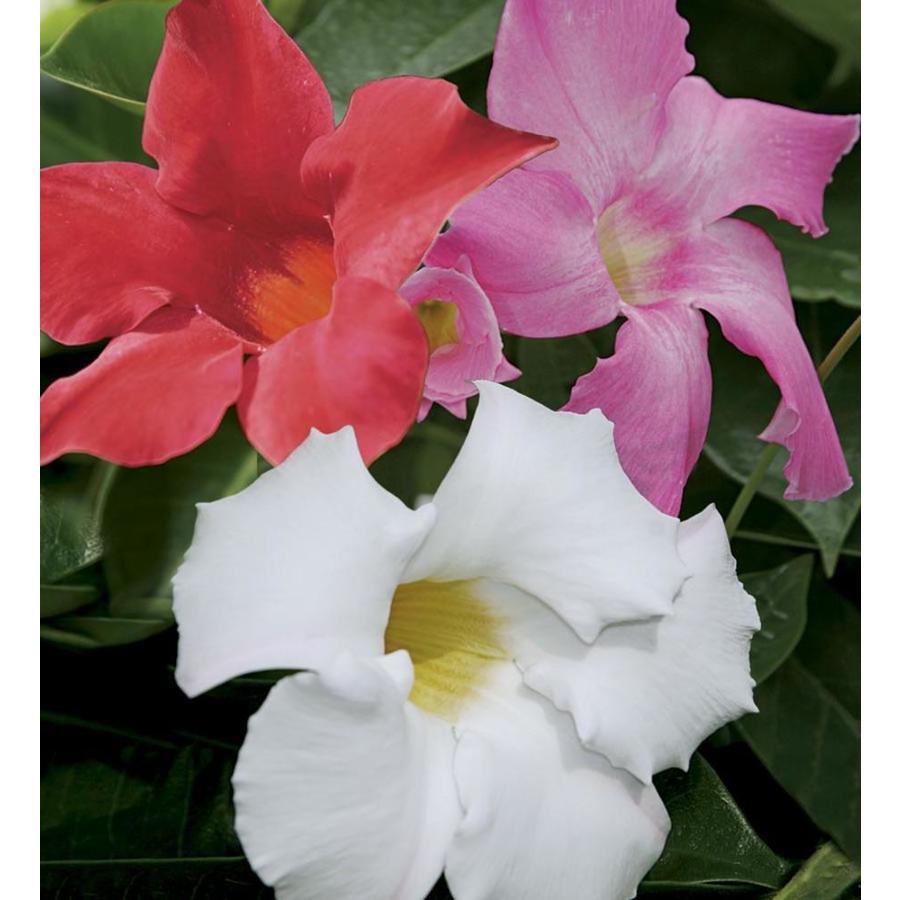 1-Gallon Mandevilla (L10440)