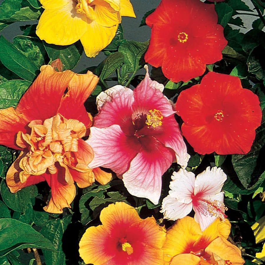Mixed Braided Hibiscus Flowering Shrub In Pot With Soil L0002 At