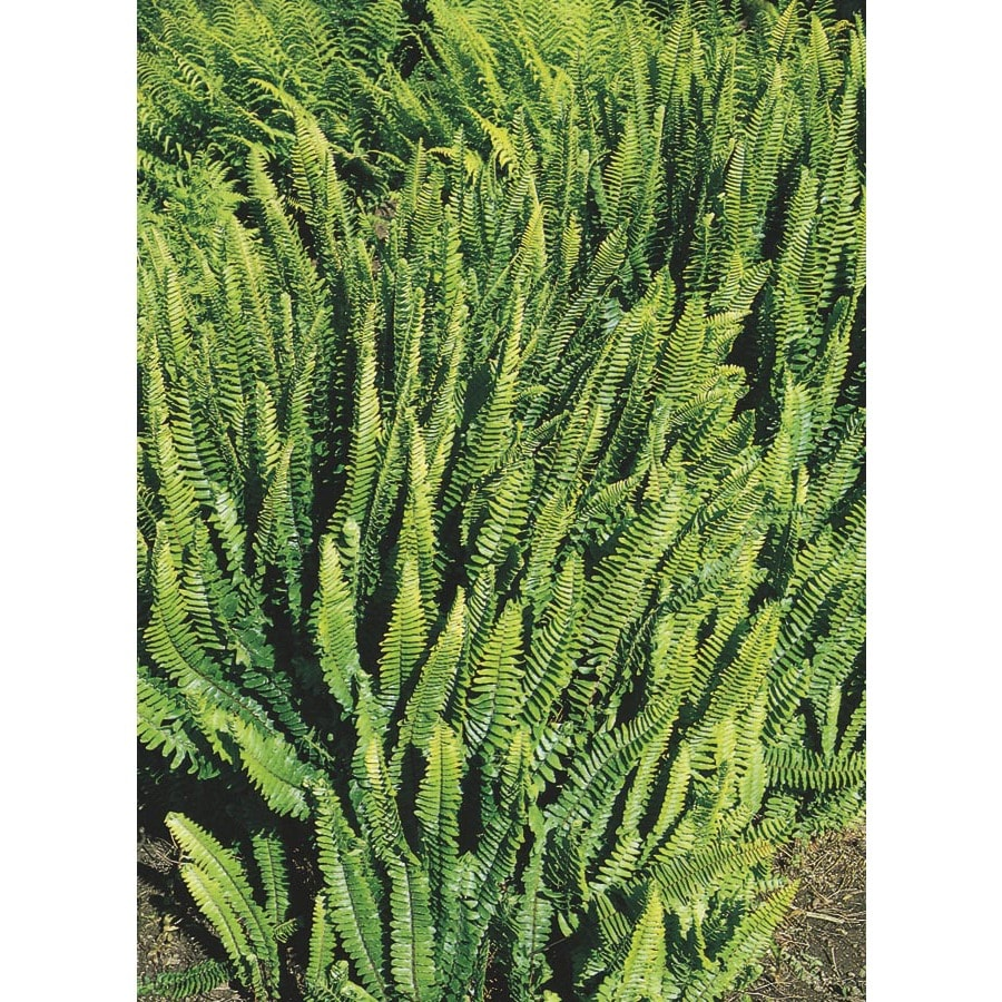 2-Gallon Sword Fern (L3913)