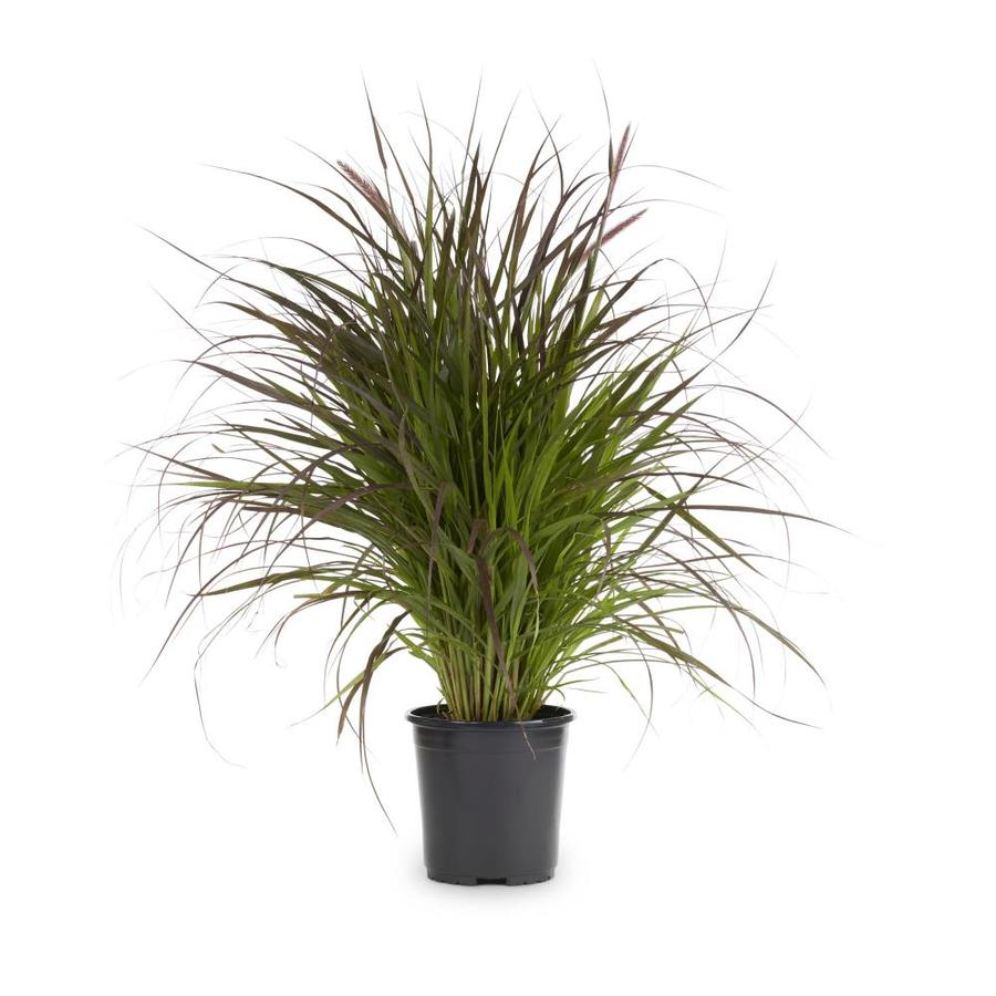 Shop 2 gallon pennisetum setaceum rubrum pot l8564 at for Fountain grass