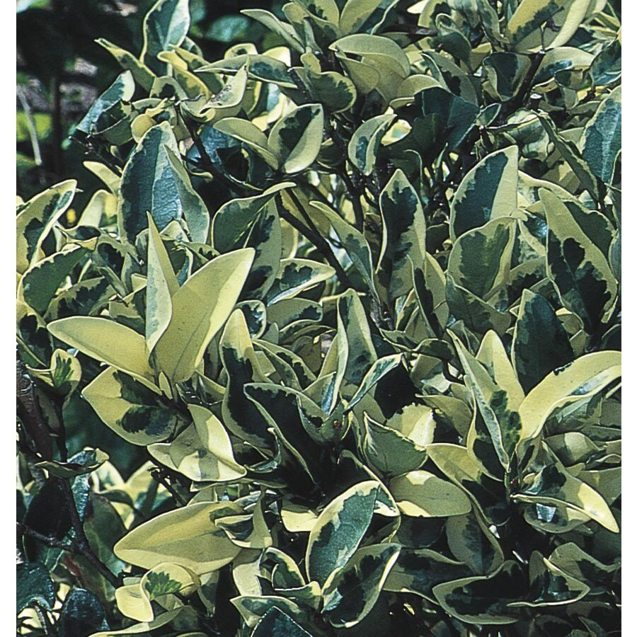 2-Gallon White Howardi Ligustrum Foundation/Hedge Shrub (L7473)
