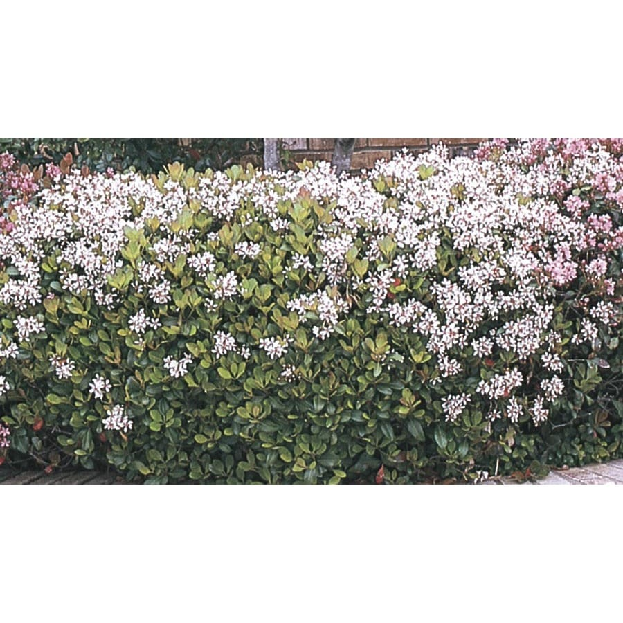 2-Gallon Mixed Indian Hawthorn Foundation/Hedge Shrub (L11166)