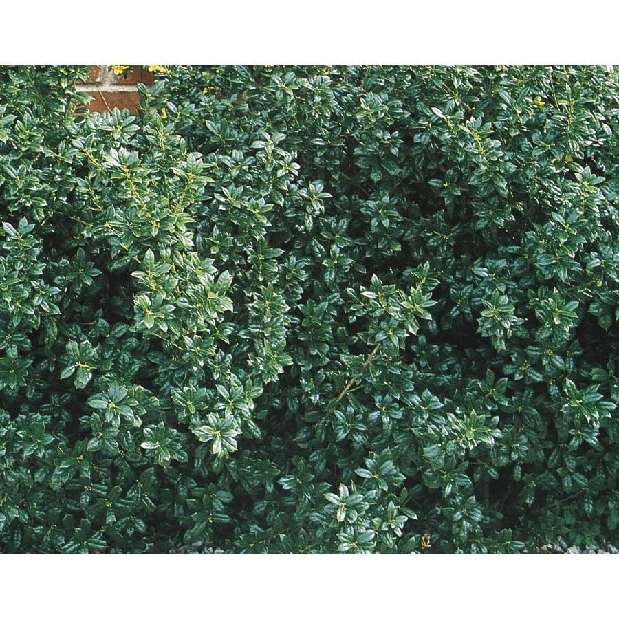 2-Gallon Dwarf Burford Holly Foundation/Hedge Shrub (L7074)
