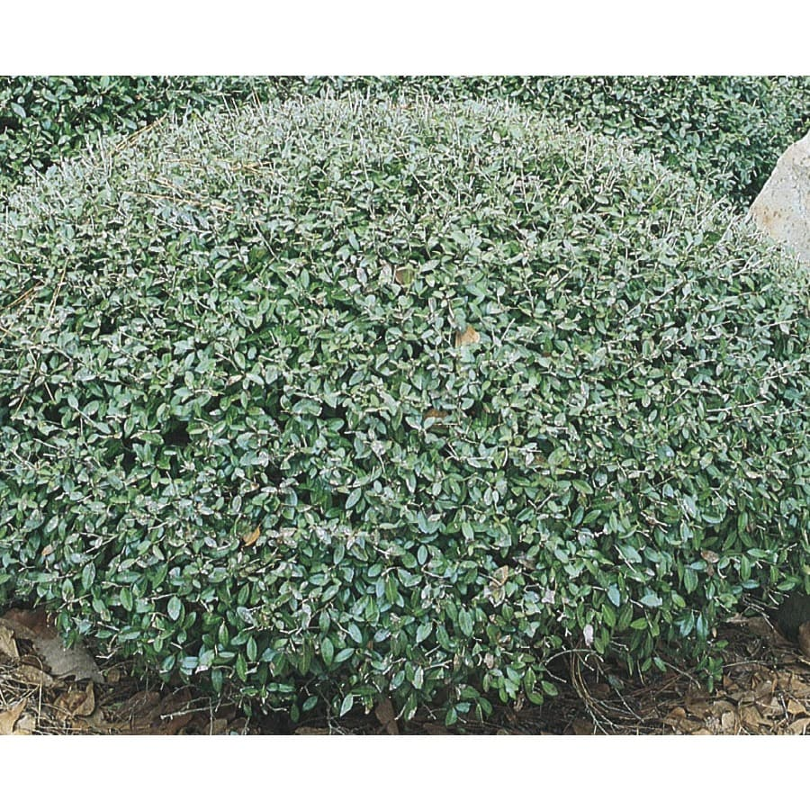 2-Gallon Schillings Dwarf Yaupon Holly Foundation/Hedge Shrub (L8261)