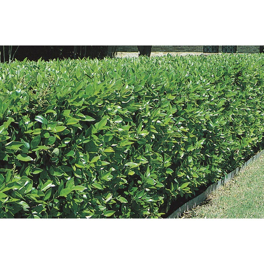 2-Gallon White Green Ligustrum Foundation/Hedge Shrub (L7467)