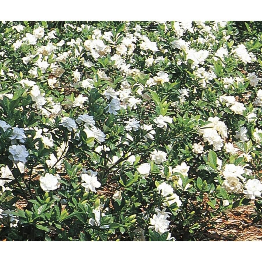 2-Gallon White Gardenia Flowering Shrub (L5150)