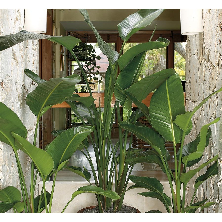 Shop White Bird Of Paradise L20980hp At Lowes Com