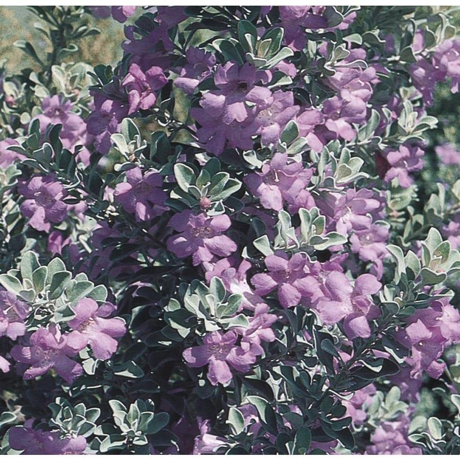 2-Gallon Purple Texas Sage Flowering Shrub (L3562)