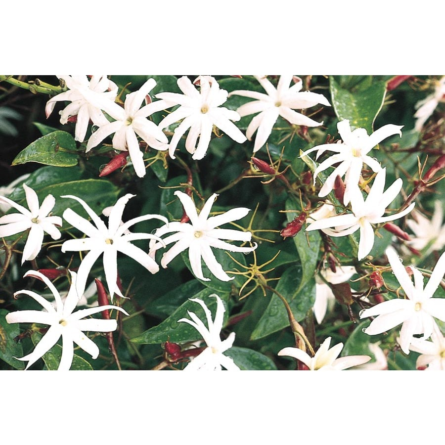 Shop 2 Gallon Downy Jasmine L6387 At Lowes