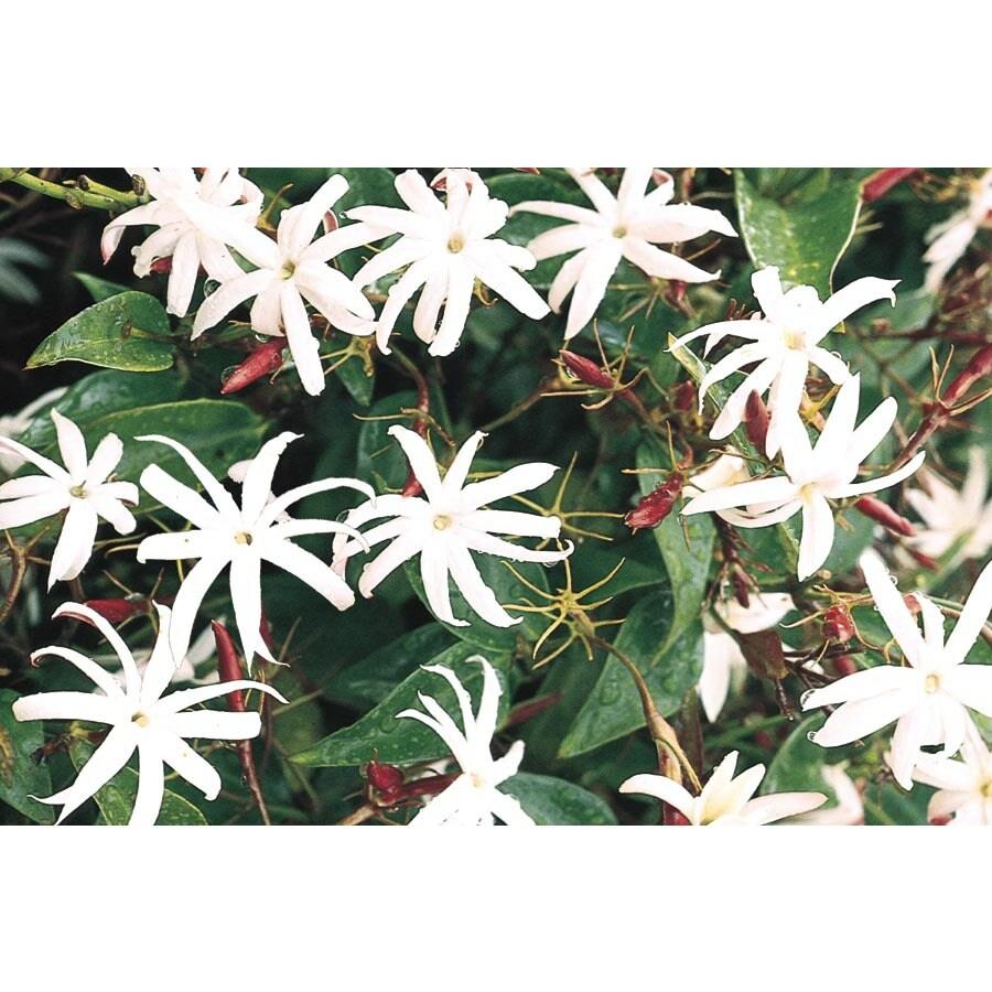 2-Gallon Downy Jasmine (L6387)