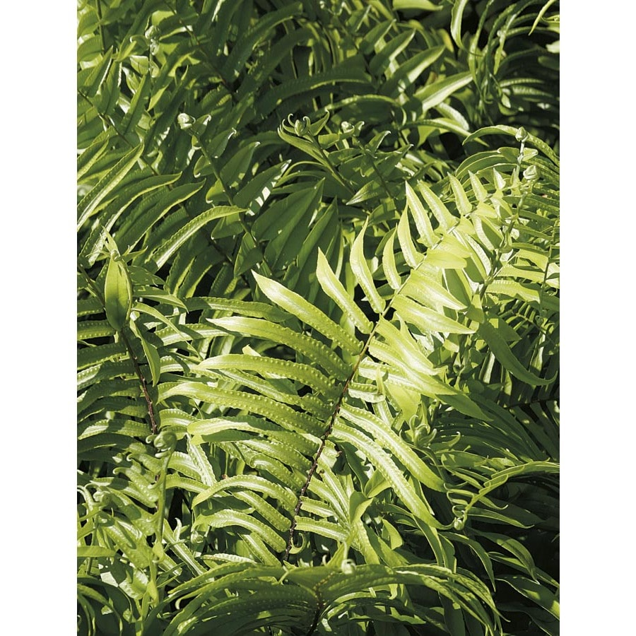 2.5-Quart Macho Fern (LTL0051)