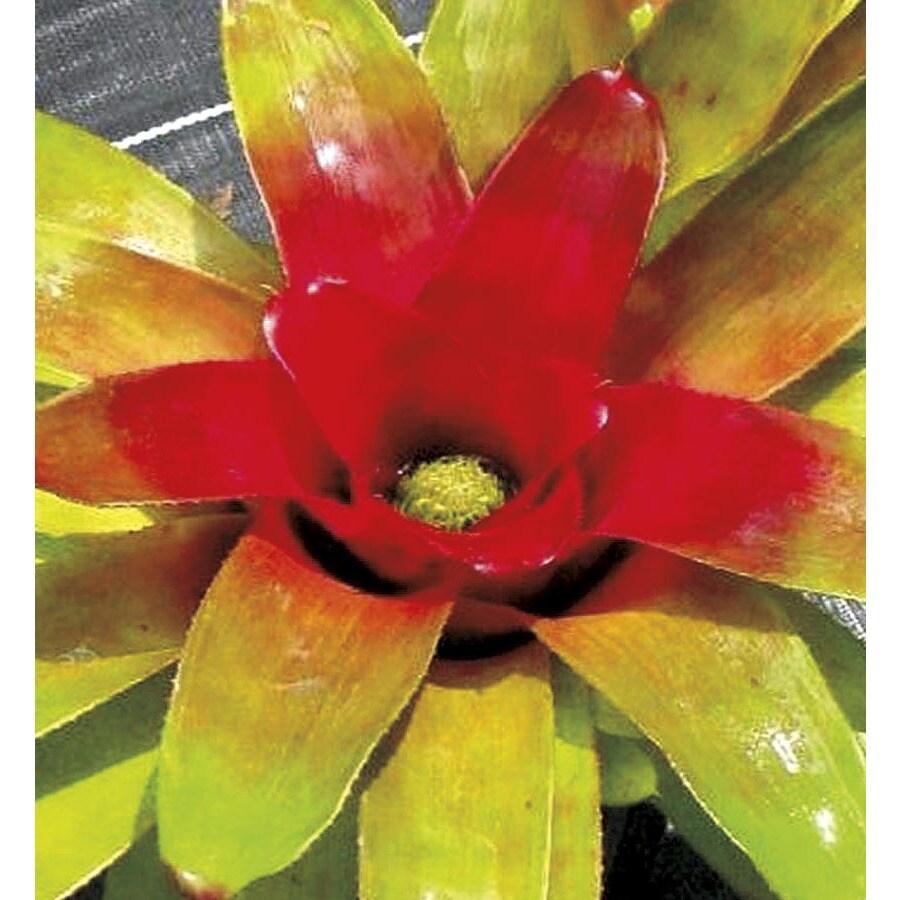 1.41-Quart Passion Bromeliad (L25740)