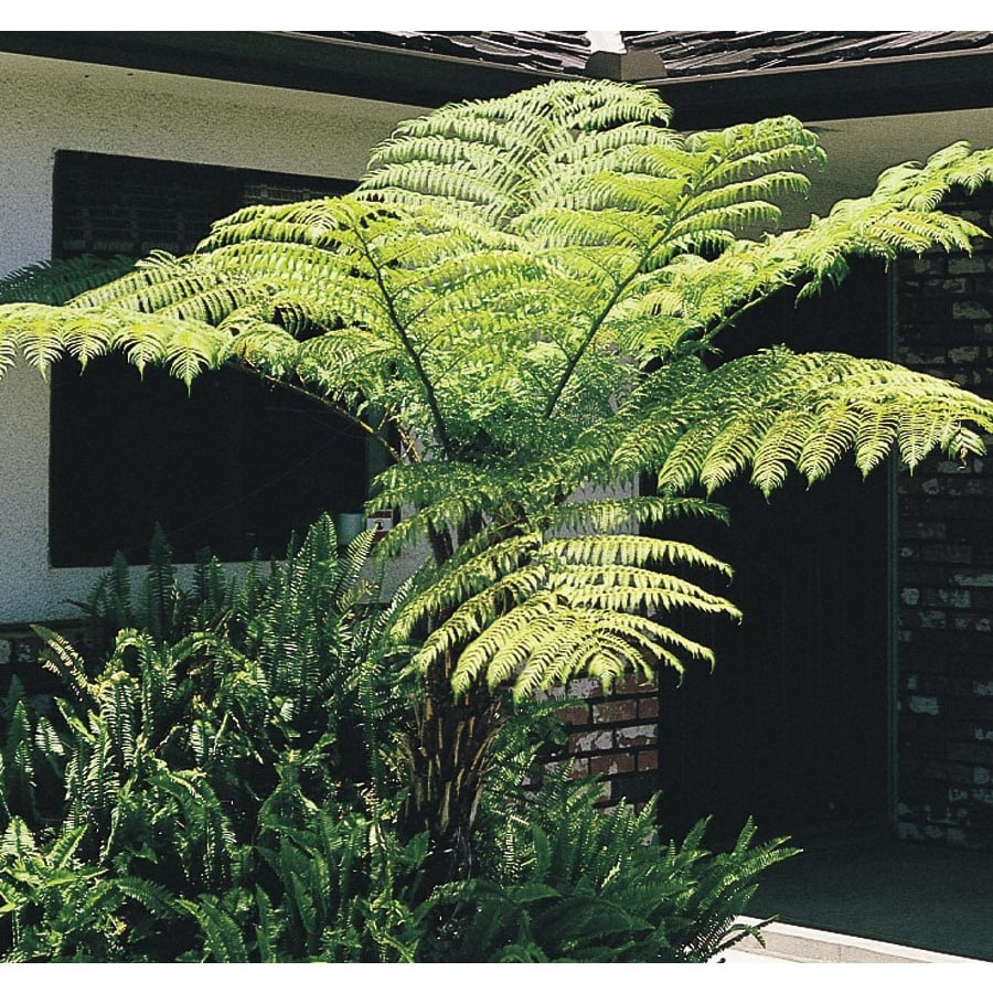 Shop Australian Tree Fern L11787 At Lowes Com