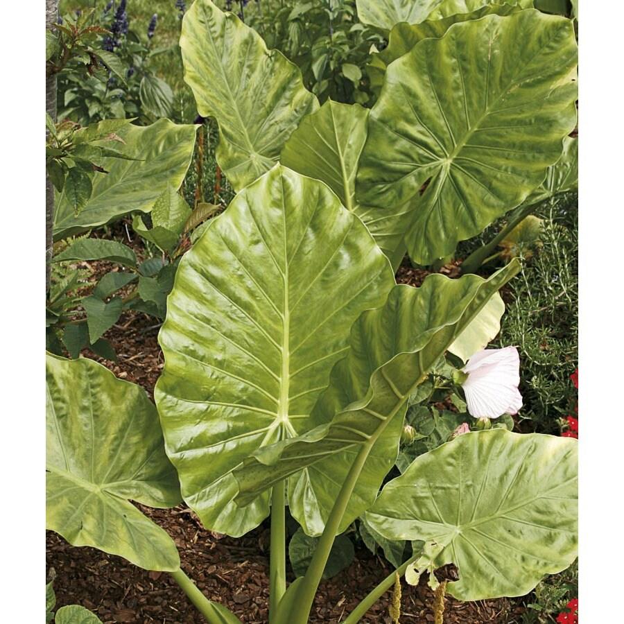 2.36-Gallon Large Leaf Alocasia (L25644)
