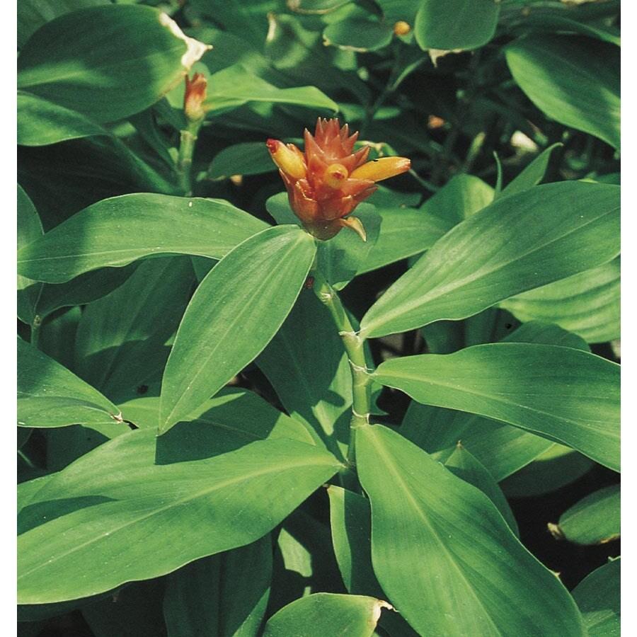 Monrovia 2-Gallon Red Ginger Feature Shrub