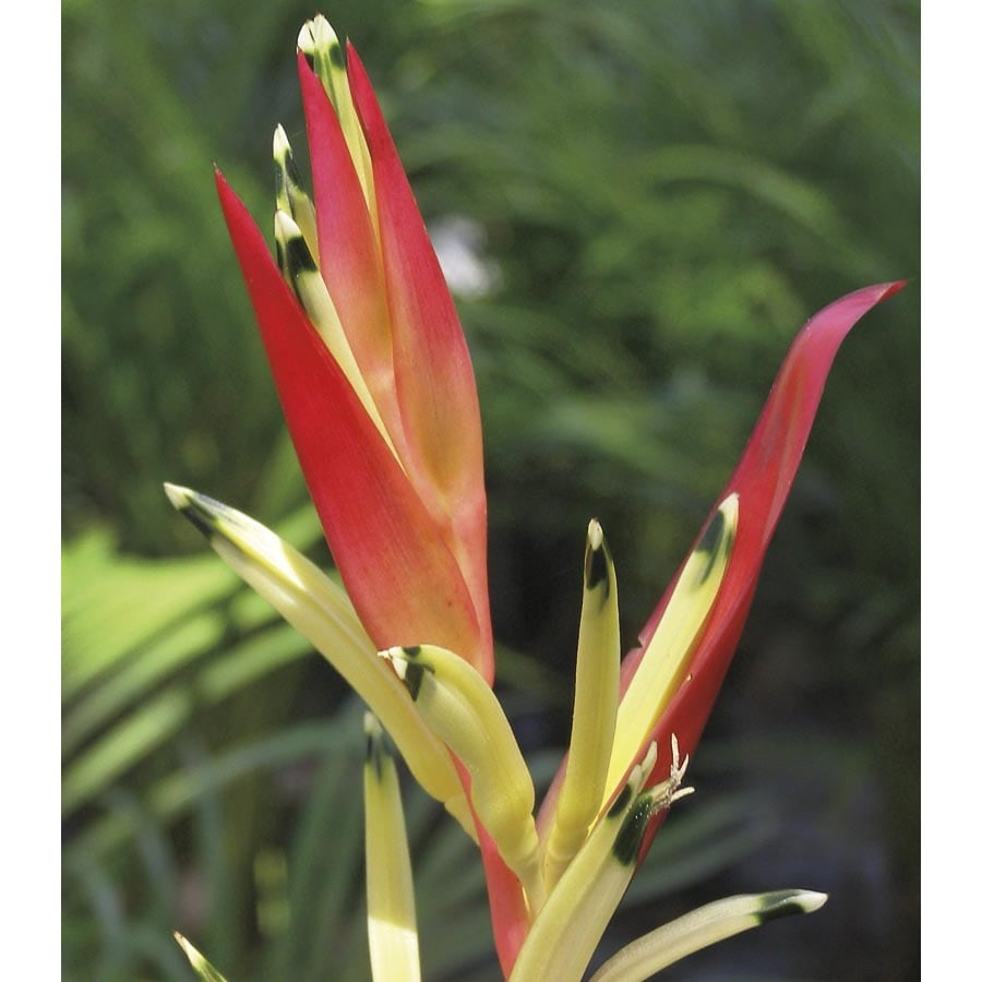 2.25-Gallon Strawberries and Cream Heliconia (L25637)