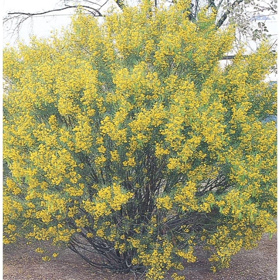 1.75-Gallon Yellow Desert Cassia Accent Shrub (L10717)