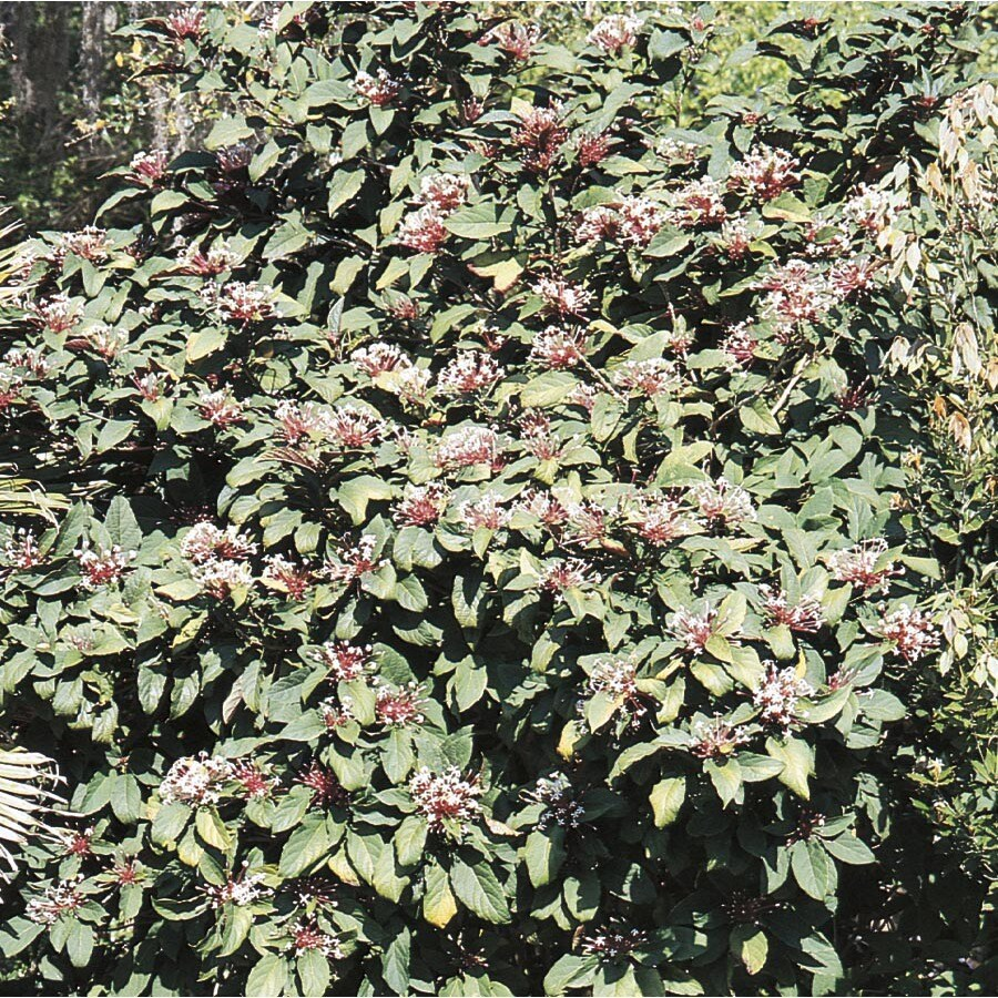 1.75-Gallon Bicolor Clerodendrum Flowering Shrub (L14500)
