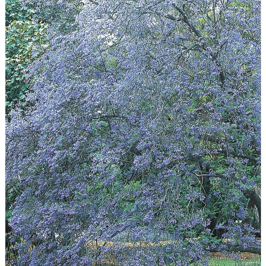 1.75-Gallon Jacaranda Tree Feature Tree (L3971)