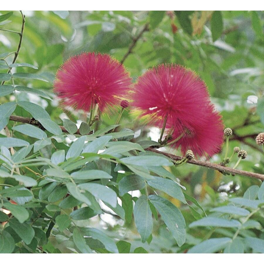 1.75-Gallon Pink Powderpuff Tree Flowering Tree (L11690)