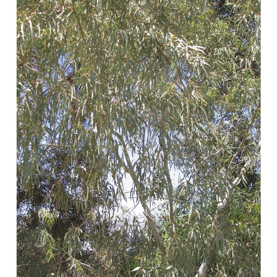 6.03-Gallon Snow Queen Shade Tree (L24539)