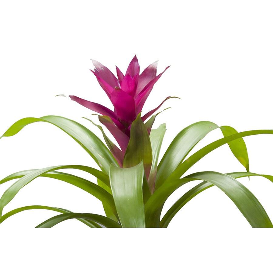1.41-Quart Multicolor Bromeliad Donna Accent Shrub