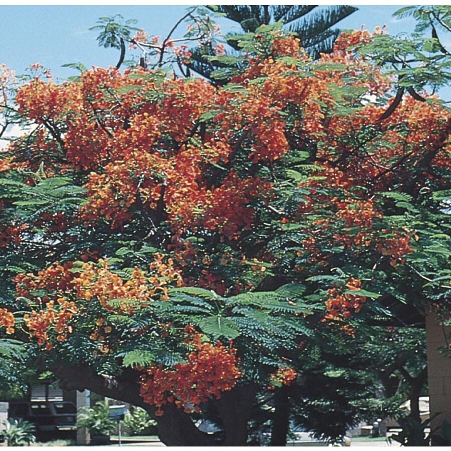 6.03-Gallon Royal Poinciana Flowering Tree (L11713)