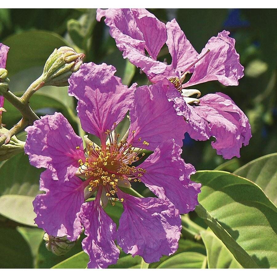 6.03-Gallon Queen's Crape Myrtle Flowering Tree (L23448)