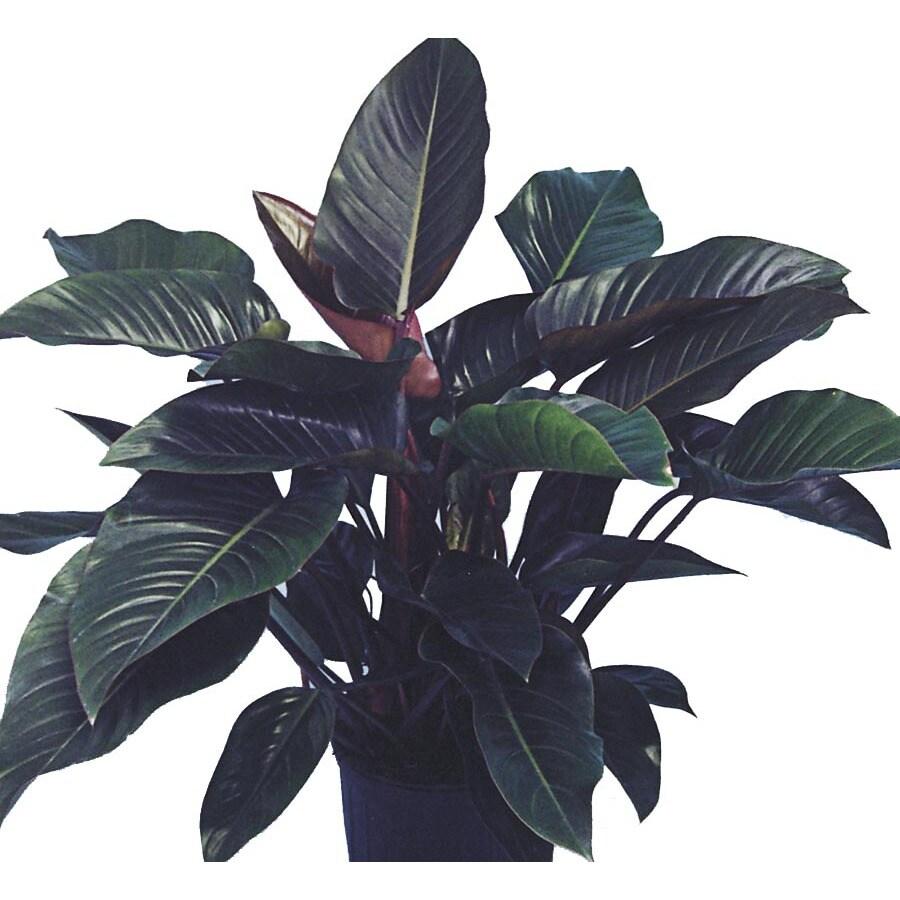 6.03-Gallon Rojo Congo Philodendron (L16220)