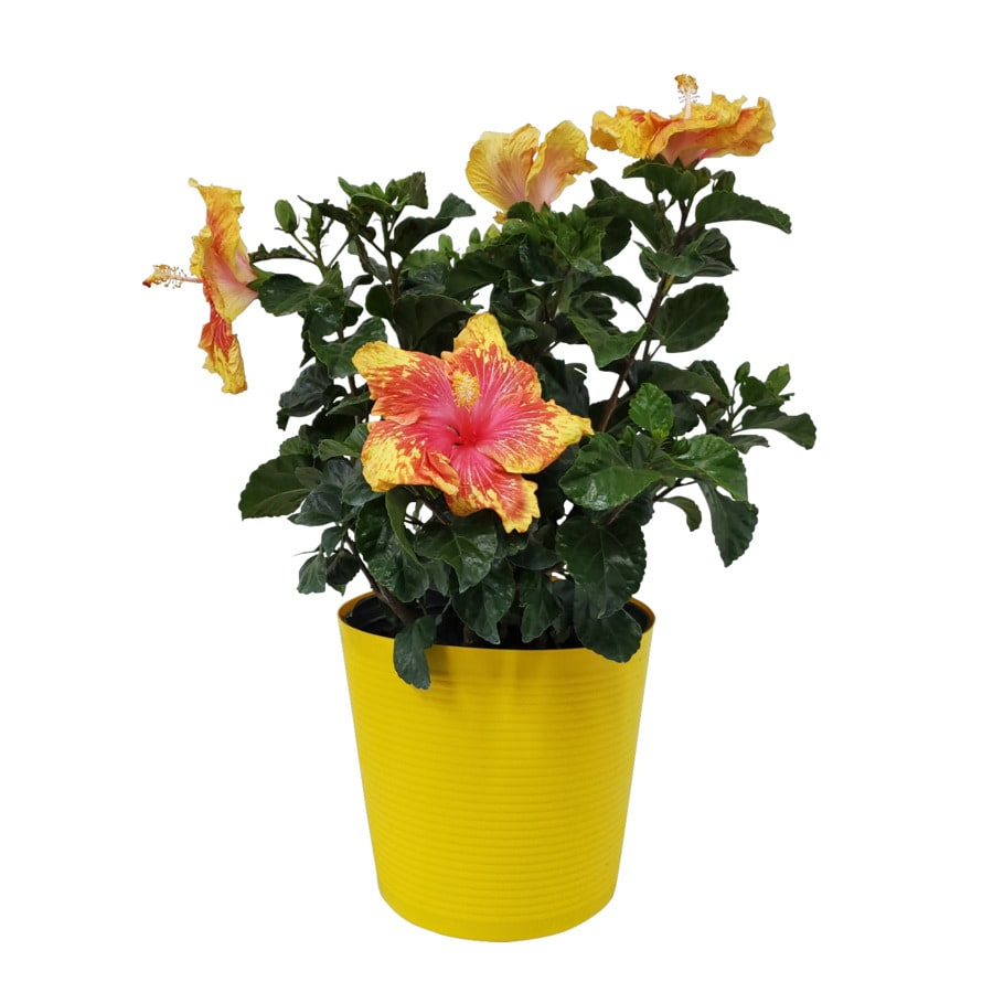 Shop 2 Gallon Yellow Hawaiian Sunset Hibiscus Flowering Shrub
