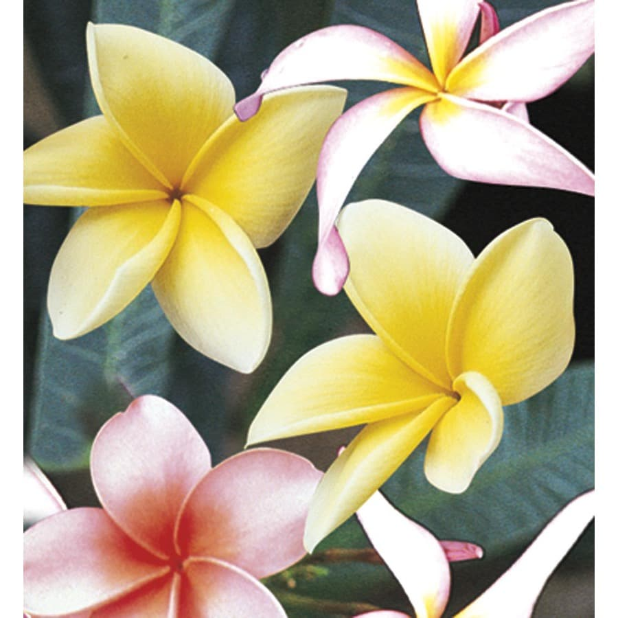 2-Gallon Mixed Plumeria Flowering Shrub (L23275)