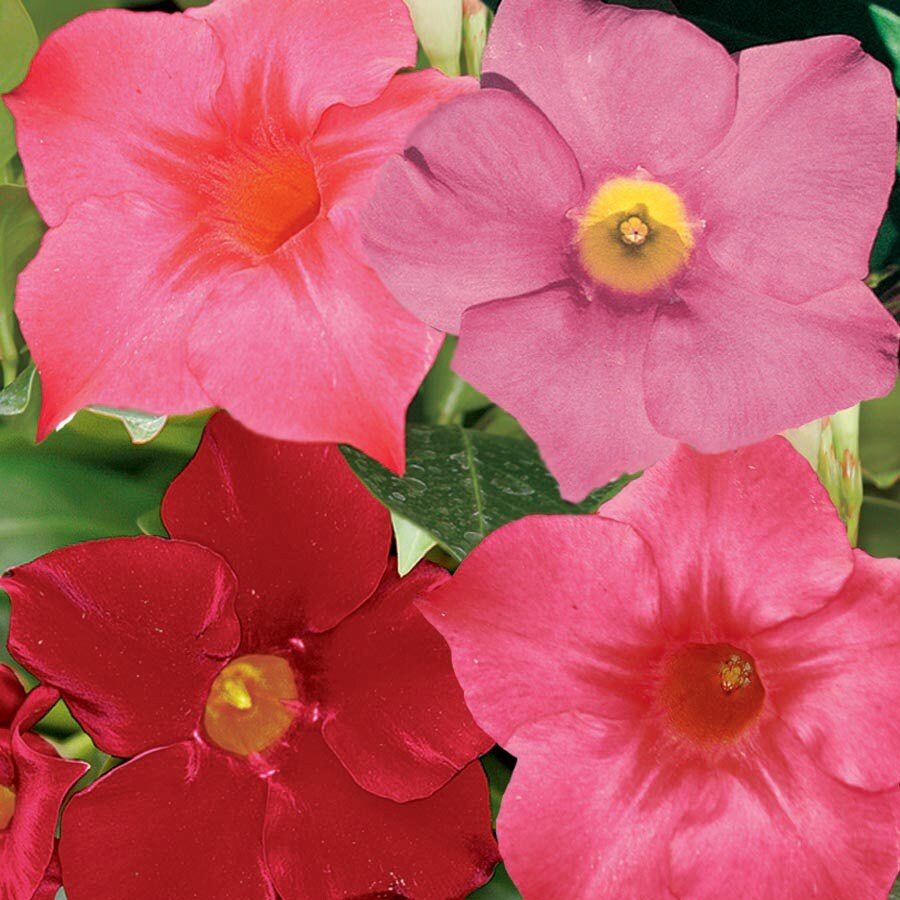 2-Gallon Mixed Rio Dipladenia Flowering Shrub (L22240)