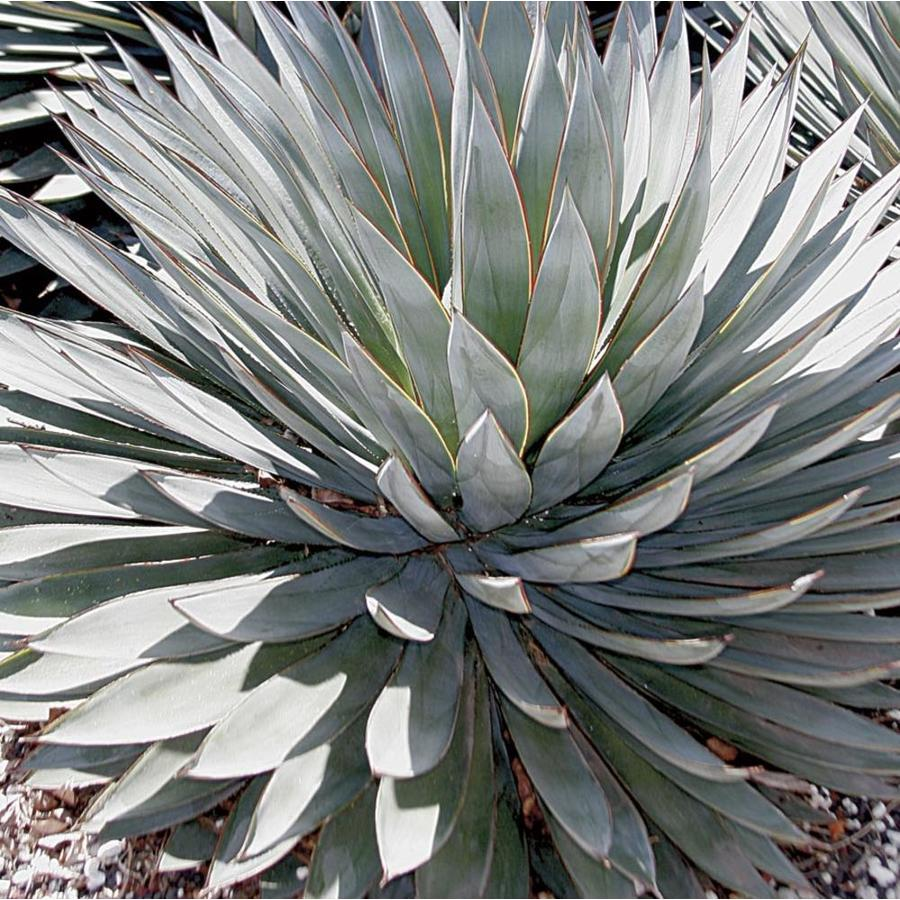 2-Gallon Blue Glow Agave (L23116)