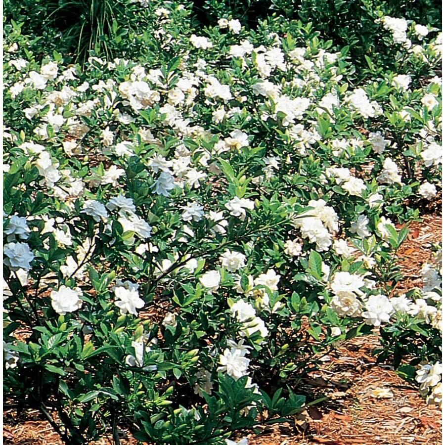 1.5-Gallon White Gardenia Flowering Shrub (L5150)