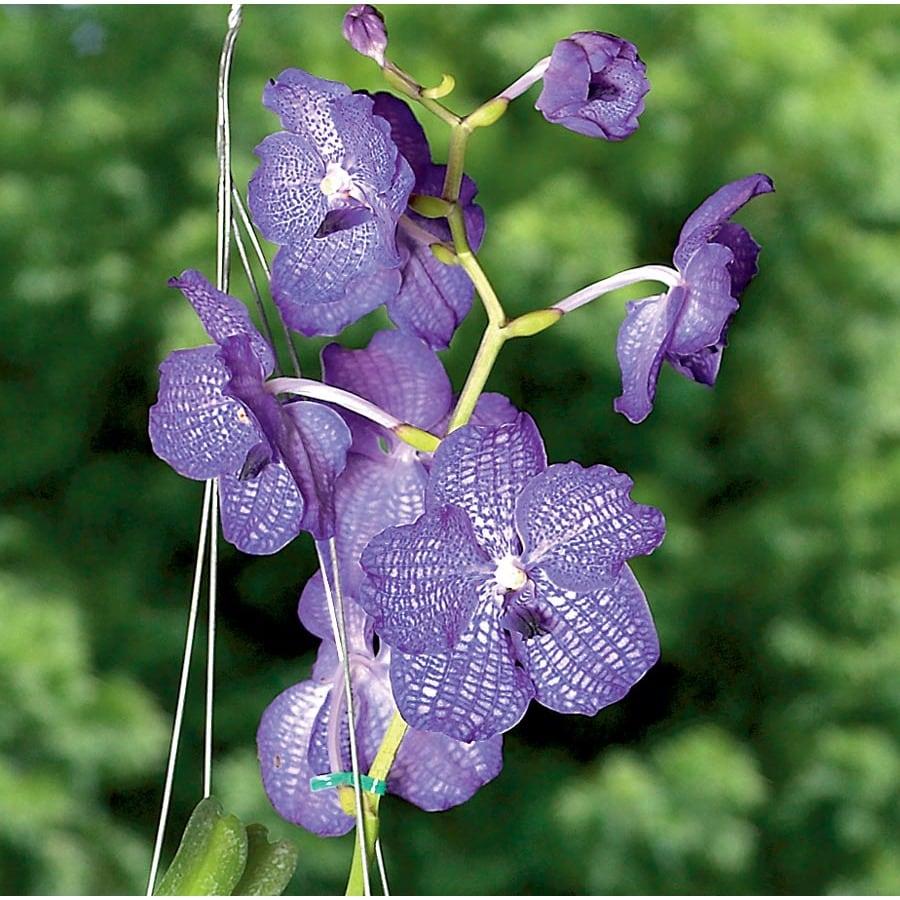 Vanda Orchid (L2978HP)