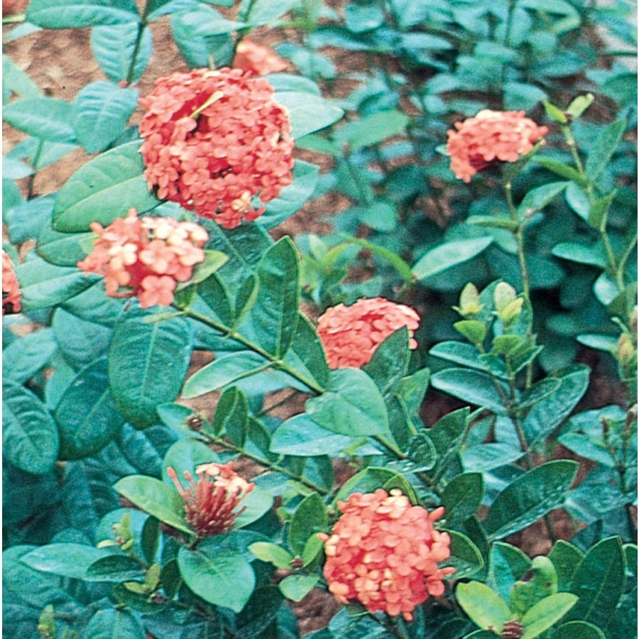 2.5-Quart Mixed Ixora Flowering Shrub (L4348)