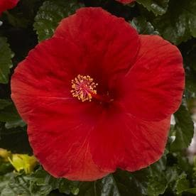 Planter Shrubs At Lowescom