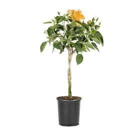 2.5-Quart Multicolor Braided Hibiscus Flowering Shrub in Pot (L0002)
