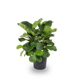 1 72 Gallon Fiddleleaf Fig In Plastic Pot L5455hp